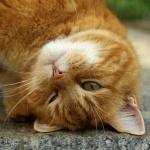 Рыжий кот прислоняется головой к земле
