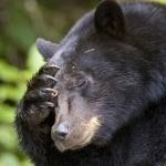 Медведь делает фейспалм просто