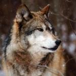 Волк может учуять добычу на большом <u>волк одиночка рисунки</u> расстоянии