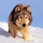 Волк идёт по глубокому снегу