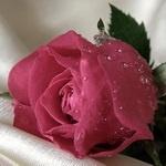 Розовая роза покрытая капельками воды