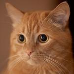 Милая мордашка рыжего домашнего кота