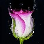 Розовая роза в воде