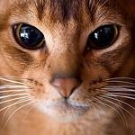 Абиссинская кошка с красивыми глазами