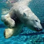 Белый медведь ловко плавает в воде специального бассейна