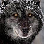 Волк с небольшим слоем снега на голове