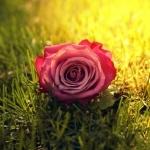 Нормальная роза бесхозно валяется на траве