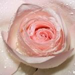Розовый бутон розы в капельках воды