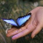 Красивая бабочка с голубыми крыльями сидит на ладони