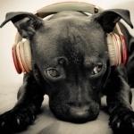 Чёрная собака лежит с наушниками на голове