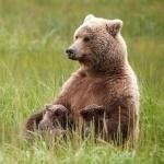 Бурая медведица кормит двух малышей в травке