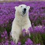 Белый медведь сидит в поле фиолетовых цветов