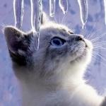 Котик трогает лапой сосульки