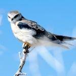 Хищная птичка сидит на кончике сухой ветки