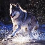 Фото бегущего по воде волка на аву