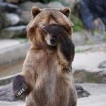 Медведь сидит на заднице и закрывает морду лапой