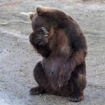 Facepalm в исполнении бурого медведя