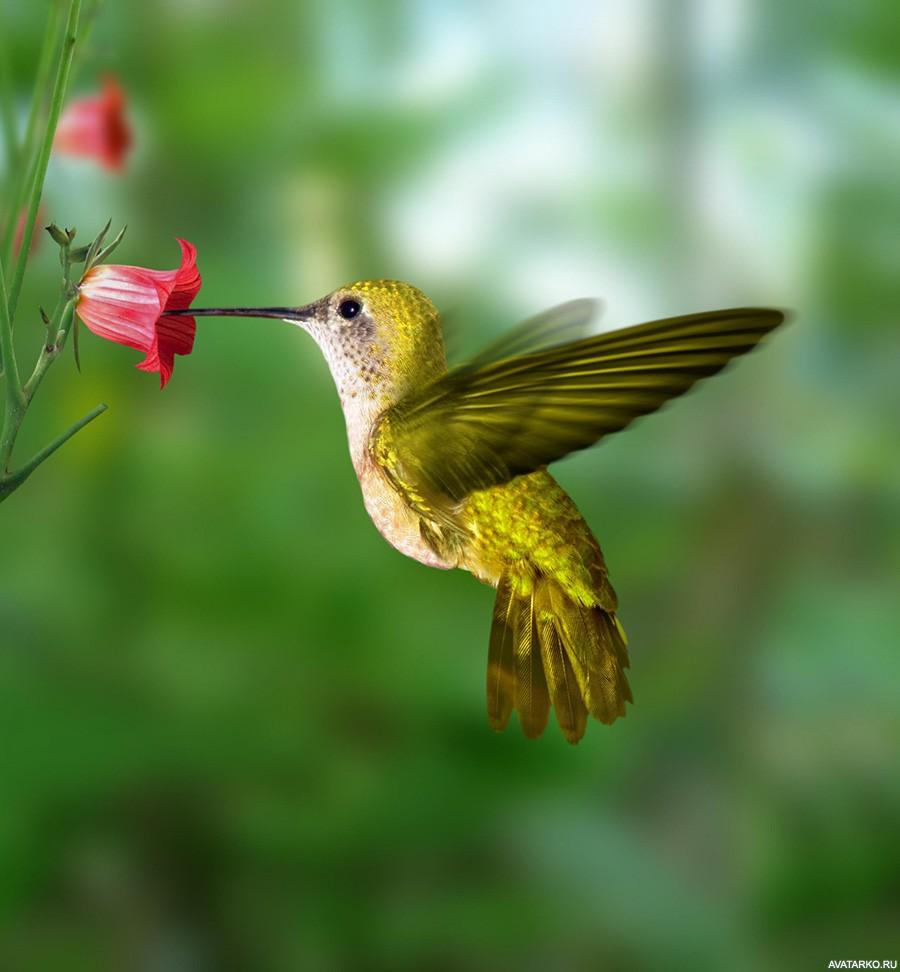 сложно перечислить картинки птички колибри серебристый