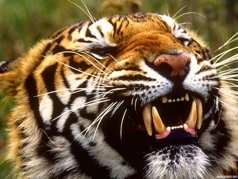 скачать картинку оскал тигра