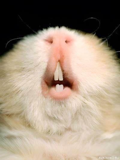 Отросшие зубы у морских свинок