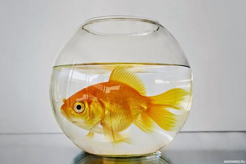 Золотая рыбка в аквариуме, красивая картинка с рыбой ...