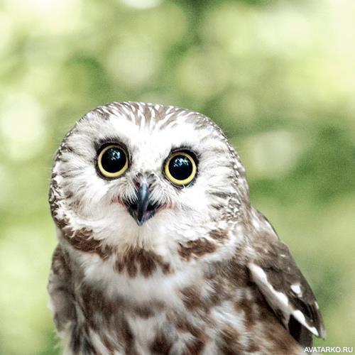 Милая сова с большими круглыми глазами — Картинки и авы
