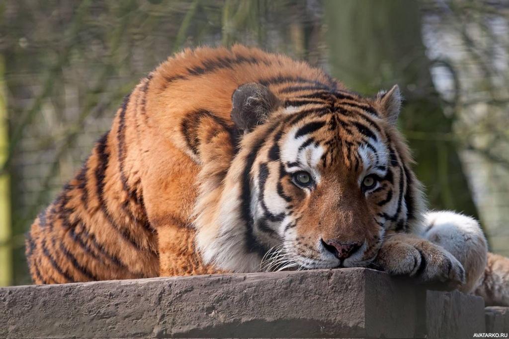 памятник спасителя обиженный тигр фото приняла решение