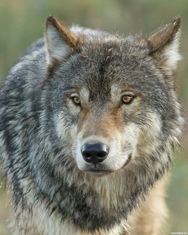 Скачать аватарки волков 7