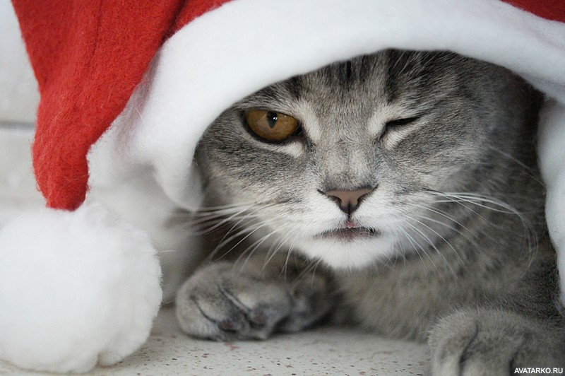 принесли фото котиков в шапочках новогодних когда-нибудь задумывались, почему