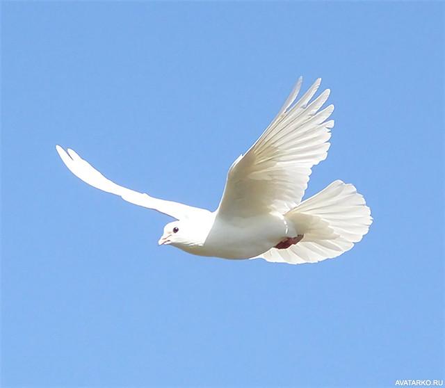 белого голубя в небе