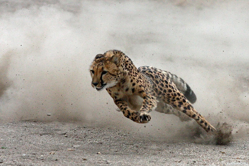 хорошего бегущий гепард картинка объект наблюдали