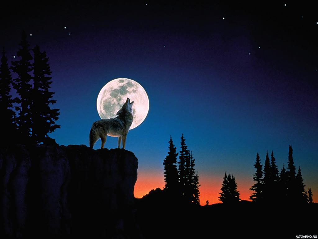 Снова волки воют на луну фото