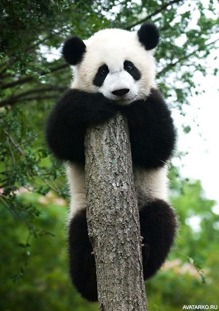 Pandaliebe