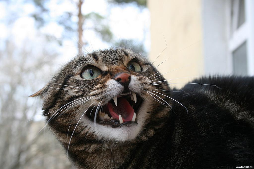 Картинки приколы злой кот