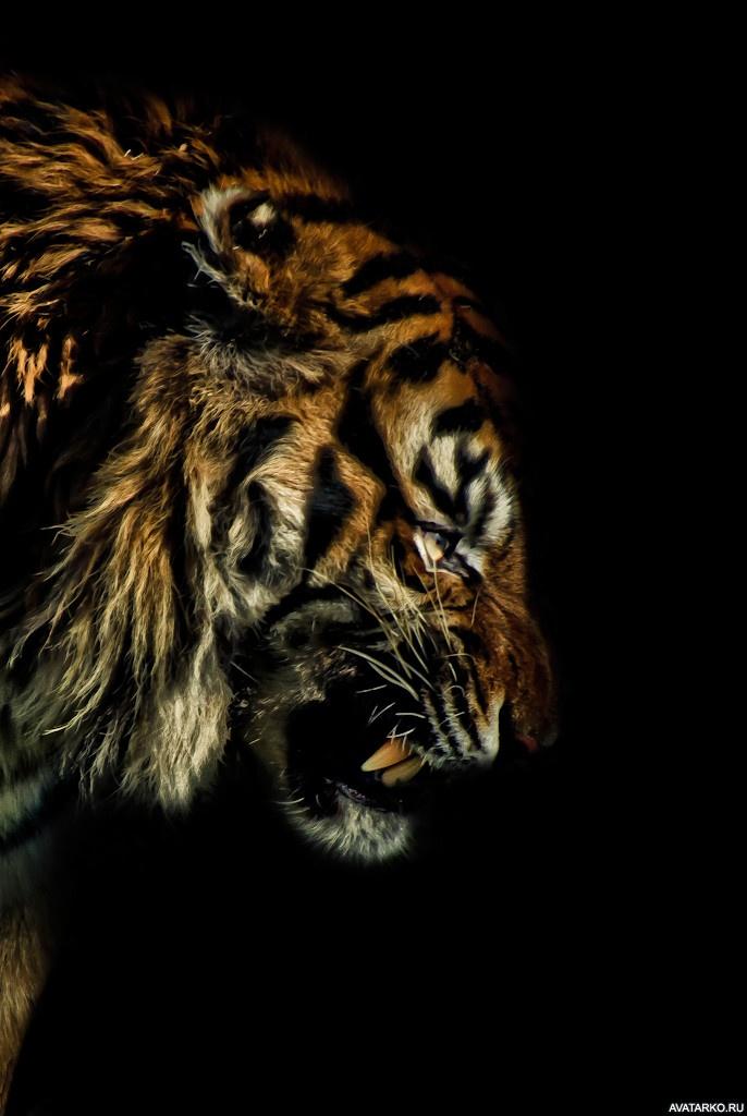 Тигры фото на аву в вк