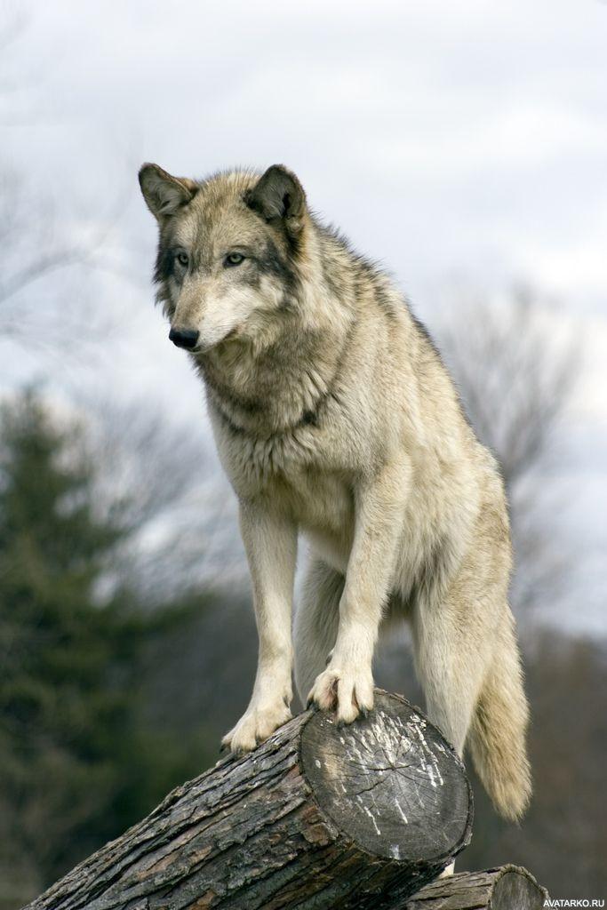 Волк фотки на аву