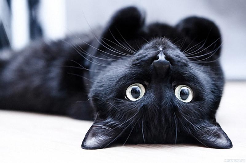 Фото черного кота на аву в