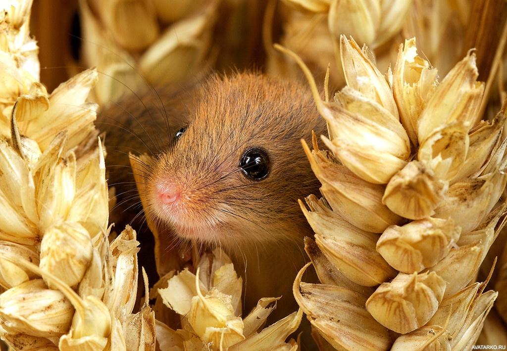 мышь затаилась картинка простого вкусного