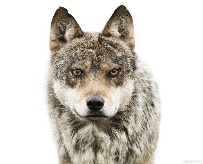Картинки волка на аву 3