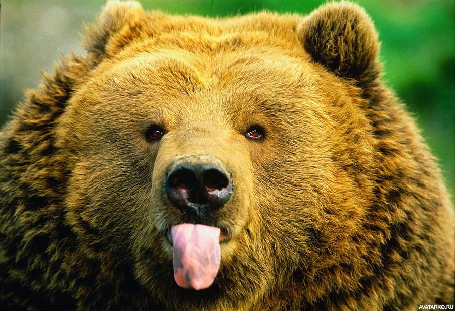 Медведь классный фото