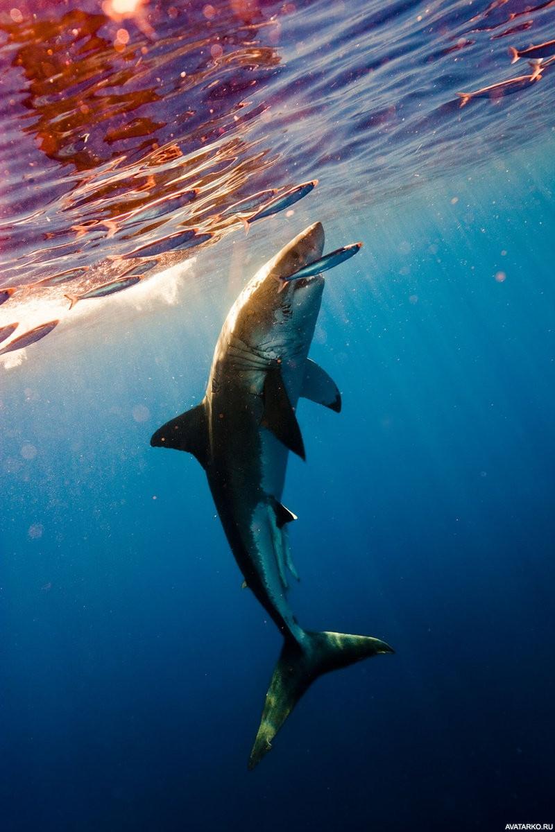 Большая белая акула (Кархародон). Фото и видео большой белой акулы.   1200x800