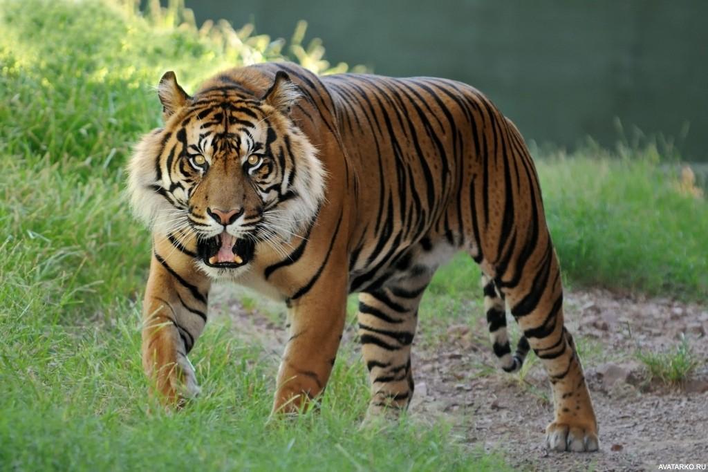 Скачать картинки с тиграми на телефон бесплатно