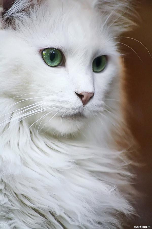 картинки аватарки белый кот места москве