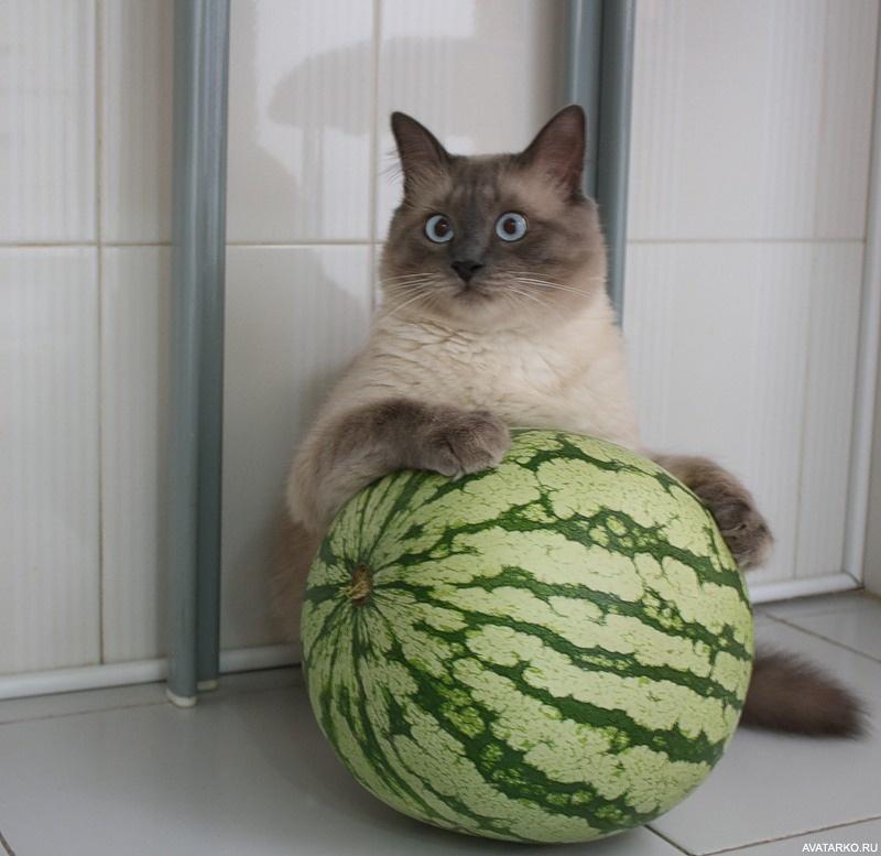 для демотиватор кот и арбуз этом