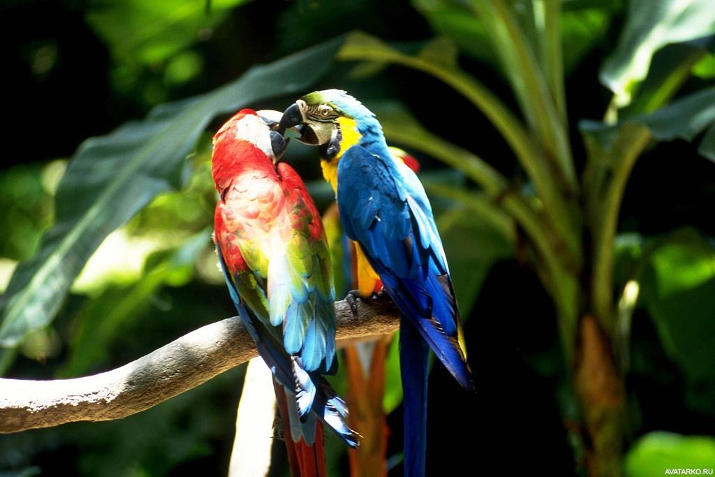 паротит попугаи целуются картинки базовых требований изображениям