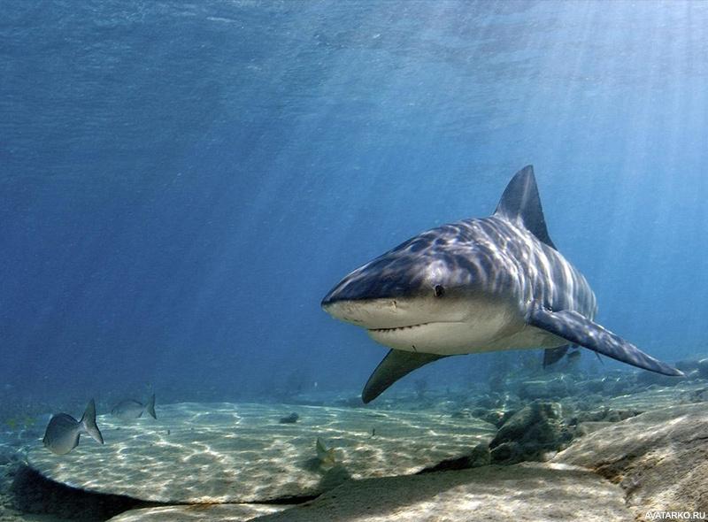 Фото акулы скачать.