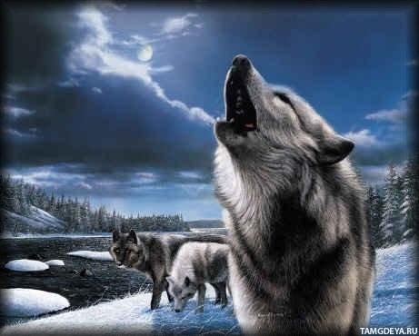 Картинки волков любовь волков