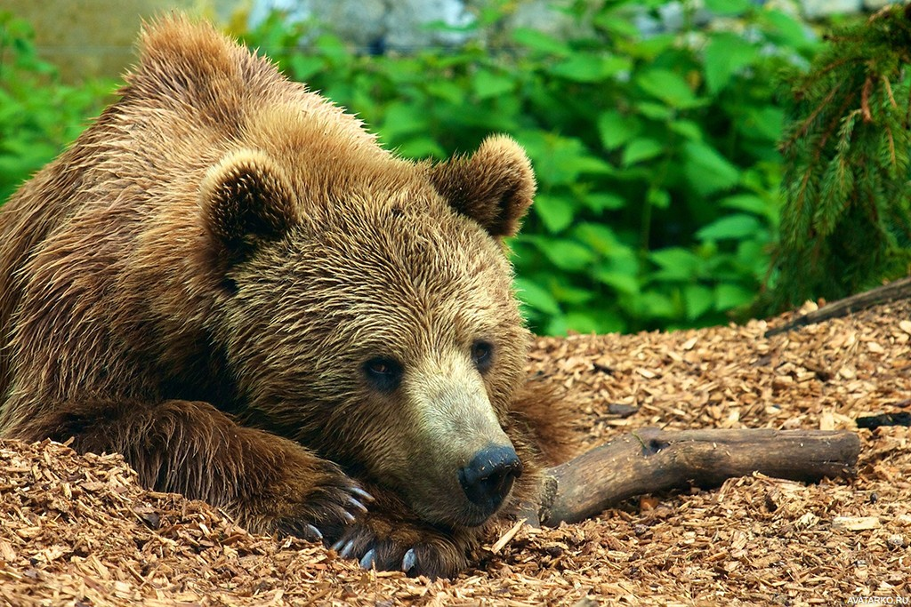 Откровения здравствуйте, бурый медведь открытка