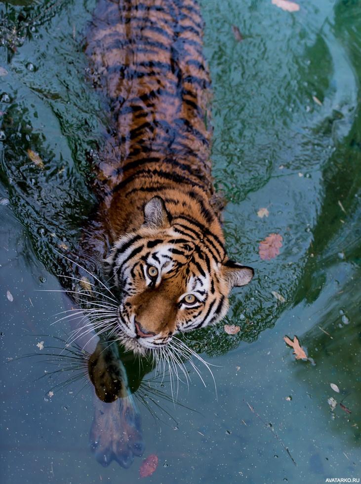 самое картинка тигры купаются тату цветы