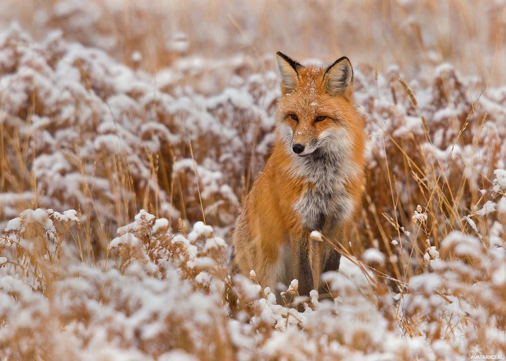 картинки лис в костюме